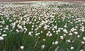 Tundra Wildflowers