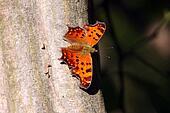 Gray Comma Butterfly