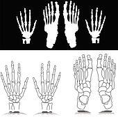 bone hand and foot illustration