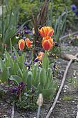 tulip in spring