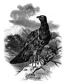 The great Woodcock Tetrao urogallus, vintage engraving.
