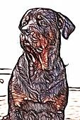 Illustration Of An Adult Male Rottweiler