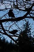 Silhouette of birds in tree.