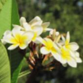 Blurred plumeria. Tropical flower.