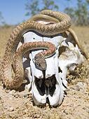 Snake on a Skull (front view)