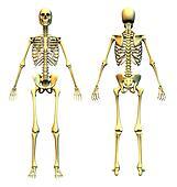 Skeleton Front & Back