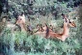 Impala Resting