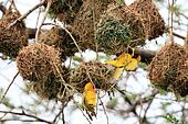 Yellow Weaver Bird - Wildlife Sanctuary - Uganda