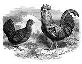 Rooster and Hen Dorking, vintage engraving.