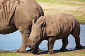 White rhinoceros calf walking on the waterside