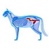 Cat Urogenital System - Felis Catus Anatomy - isolated on white