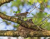 Adult bird of turdus pilaris species feeding its nestlings in the nest positioned on the tree, stylized and filtered to resemble an oil painting.