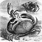 Edible crab devouring a corpse Bernard the hermit of his shell, vintage engraving.