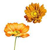 orange poppy, mona lisa flower