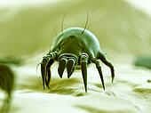Typical dust mite
