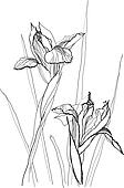 drawing irises