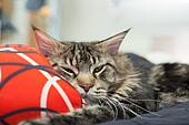 Lazy Maine Coon lying on pillow