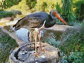Stork on Stump