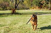 Golden retriever outdoor