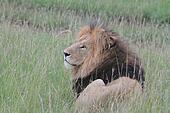 Royal Lion, the King
