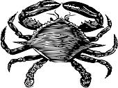 Blue Crab engraving (callinectes hastatus)