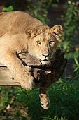 female lion in a tree
