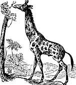 An old giraffe engraving illustration