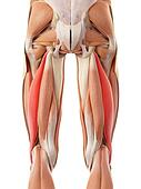 The biceps femoris longus