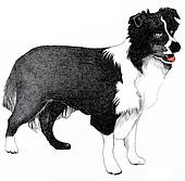 Collie dog illustration