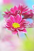 Close-up of chrysanthemum;
