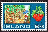 Canceled Icelandic Postage Stamp showing a man picking tomatoes inside a greenhouse from tomato vines