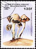 Psilocybin Mushroom Psilocybe caerulescens var. caerulescens.   Psychedelic mushroom.