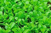 Green leaf mustard in growth