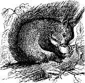 Red squirrel or Sciurus vulgaris chewing on an acorn