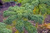 green kale in cultivation