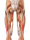 The short biceps femoris
