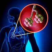 Lungs Alveoli - Human Respiratory S
