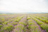Cultivation of lavender perfume.