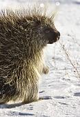 Porcupine in winter