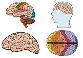 Human brain in vector