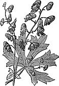 Flower of Monkshood or Aconitum napellus engraved illustration.