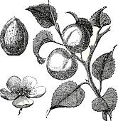 Apricot flower, tree and kernel old engraved illustration