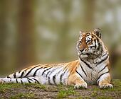 Beautiful image of tiger relaxing on grassy hill