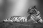 Beautiful tiger laying down on grassy bank in black and white