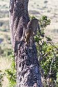 Leopard in big tree