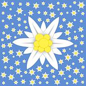 Edelweiss on blue background