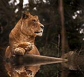 Stunning lioness relaxing on a warm day reflection in water