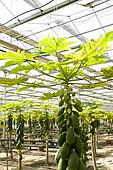 Papaya cultivation in greenhouses.