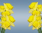 Easter Daffodils border