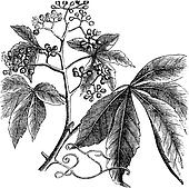Virginia Creeper, Ampelopsis or  Parthenocissus Quinquefolia, American Ivy, Woodbine, False Grape vintage engraving.